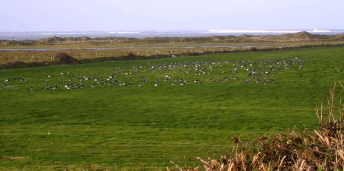 Video of Barnacle Geese @ Ballyconnell